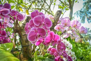 orchids at singapore national